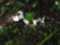 Rimbachia arachnoidea
