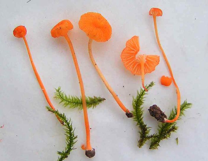 Rickenella fibula