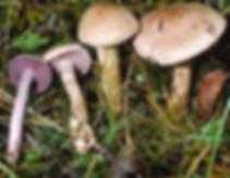 Cortinarius azureus