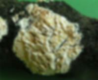 Hyphoderma radula