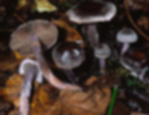 Cortinarius sertipes