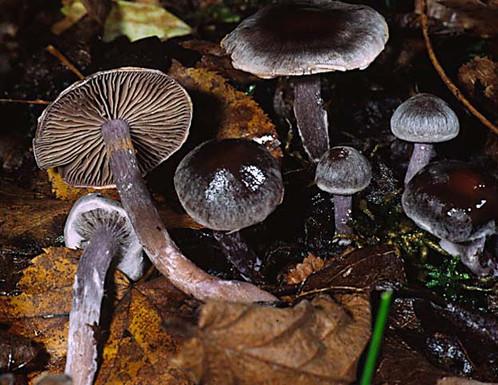 Cortinarius sertipes