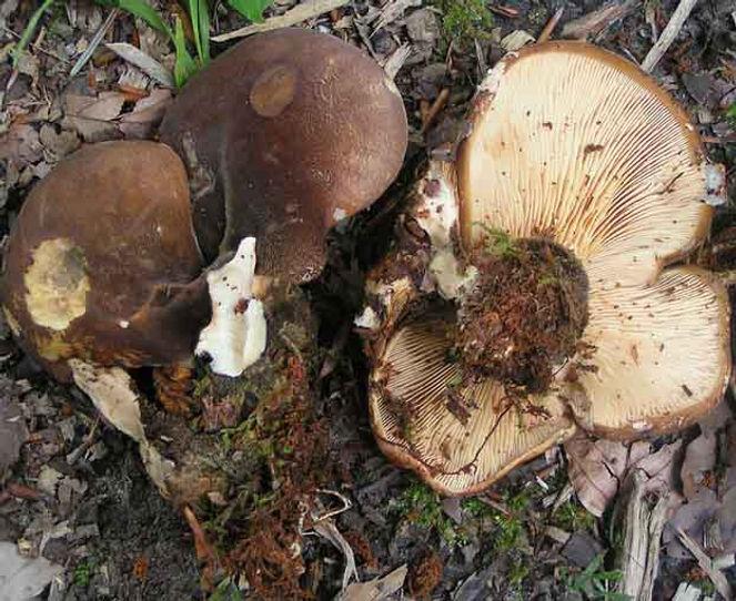 Paxillus atromentosus