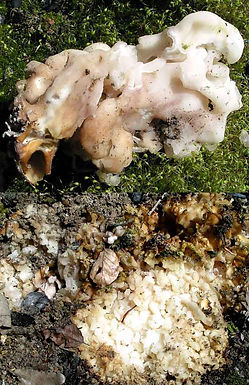 Peziza proteana var. sparassioides