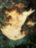 Phellinus vorax