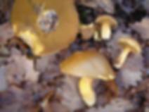 Suillus variegatus