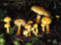 Pholiota lucifera