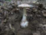 Amanita lepiotoides, Braunscheidiger Wulstling