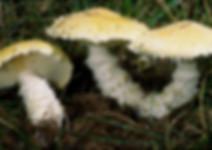 Floccularia straminea