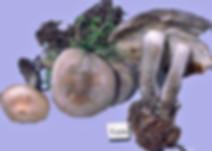 Lyophyllum aemiliae