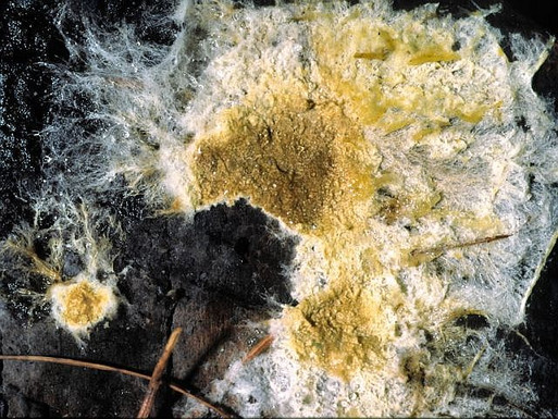 Coniophora arida