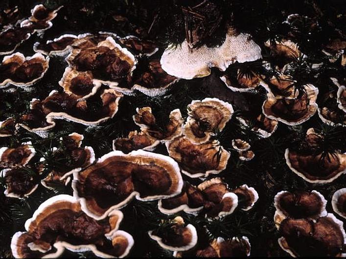 Phellodon tomentosus