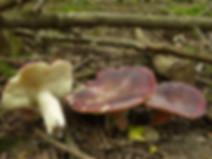 Russula amoenicolor