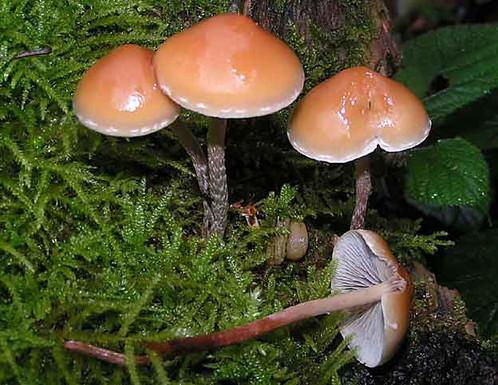 Hypholoma marginatum