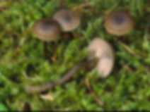 Hygroaster asterosporus