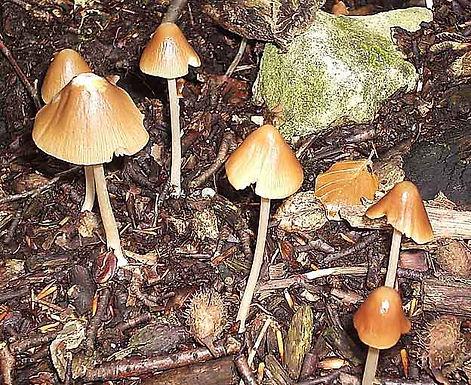 Psathyrella conopilus