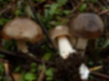 Volvariella gloiocephala