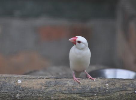 Addicted to Bath : Java Finch Bird
