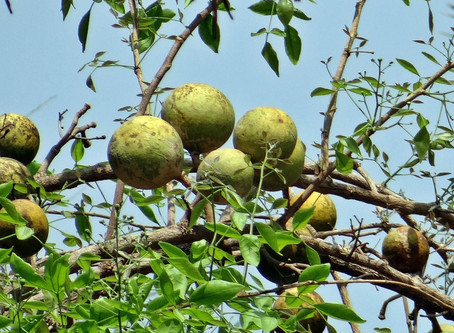 Why Wood-Apple Juice (Summer-Drink)? How this fruit Origin?
