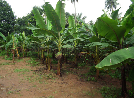 Banana : A Fantastic Food (Must Have in Garden)