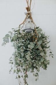weekly eucalyptus