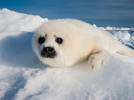 Saving The Harp Seals