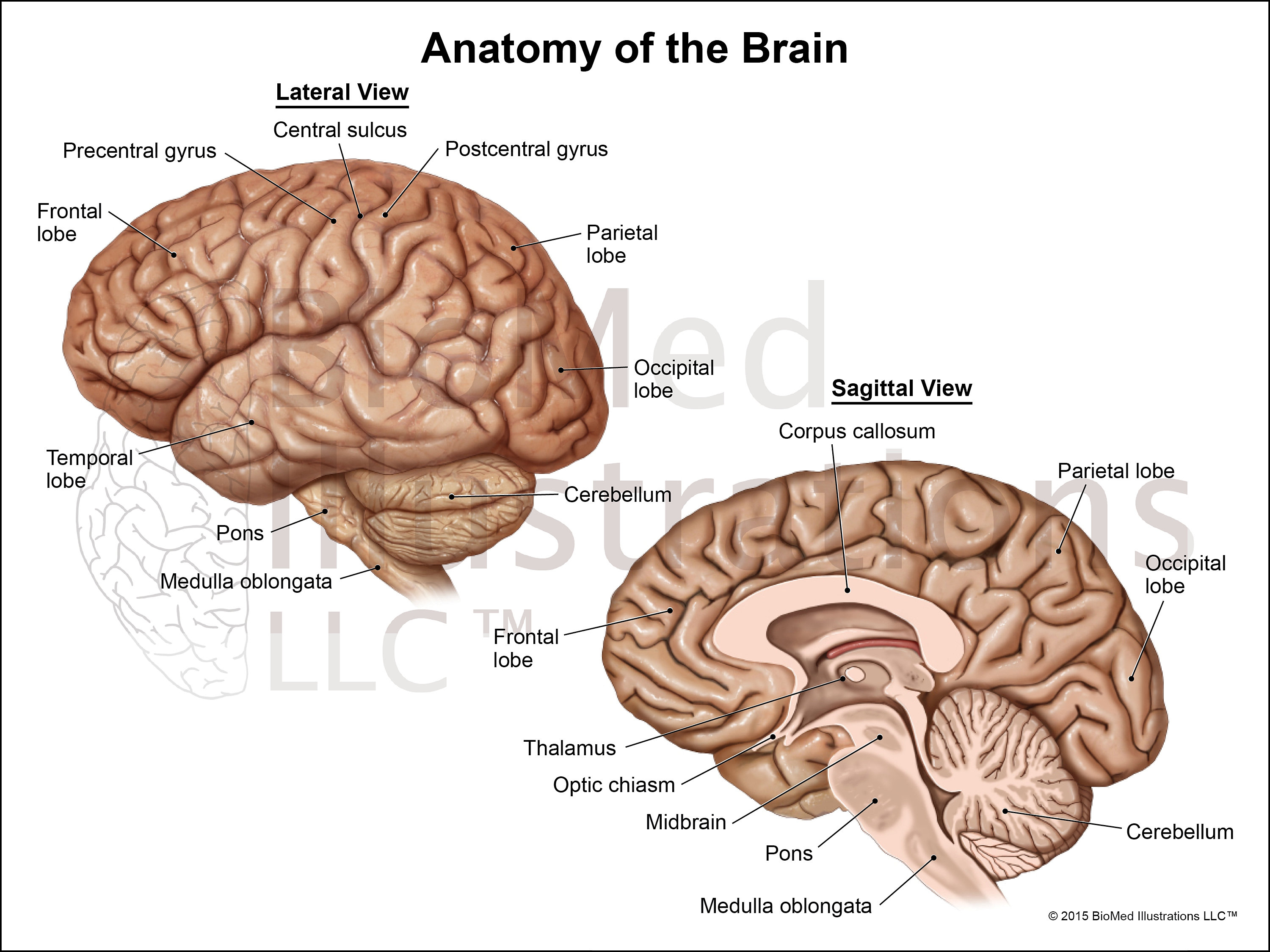 Image result for Brain anatomy