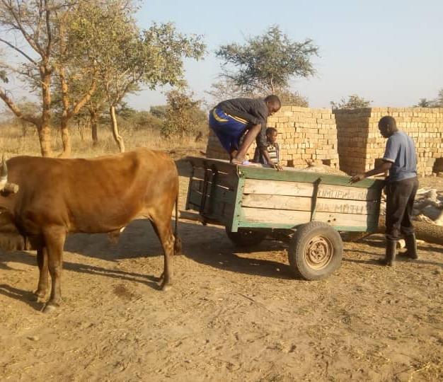 wood taken by ox-cart to brick kilns