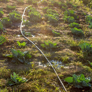 Drip irrigation pipes help water the vegetables