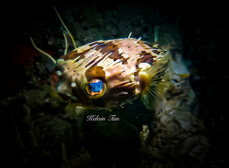 Diving In Singapore:  Long-spine Porcupinefish