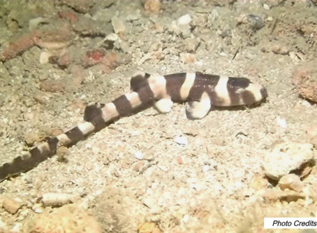 Diving In Singapore: Brownbanded Bamboo Shark