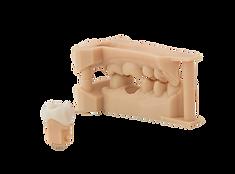 DentalModel-歯科模型