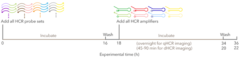 protocol-timeline_RNA-FISH.png