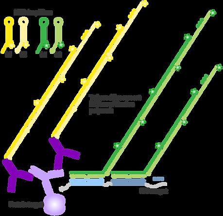 protocols_2IHC+RNA-FISH-amplification.pn