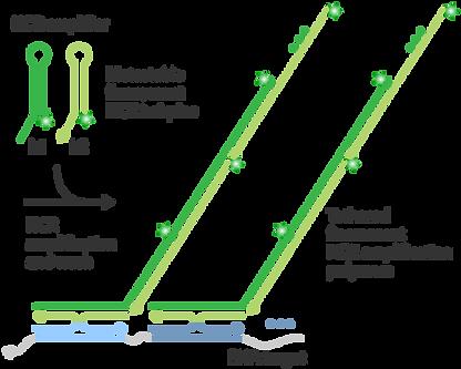 protocols_RNA-FISH-amplificationstage.pn