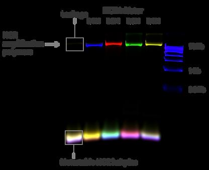 HCR-ampliers-gel-01.png