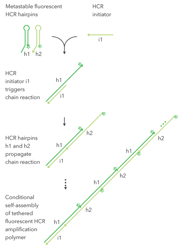 HCR-mechanism_mobile.png