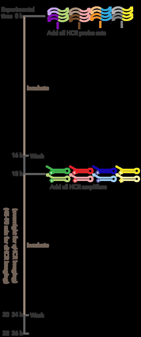 protocol-timeline-mobile_RNA-FISH.png
