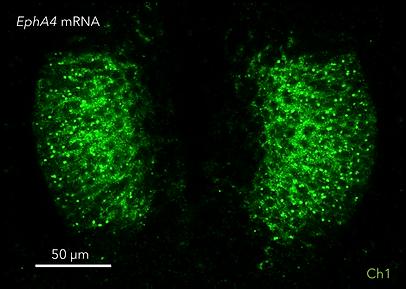 qHCR-imaging_qHCR-RNAimages-chicken1.png