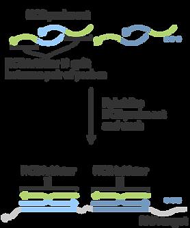 protocols_RNA-FISH-detectionstage-01.png