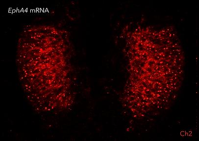 qHCR-imaging_qHCR-RNAimages-chicken2.png