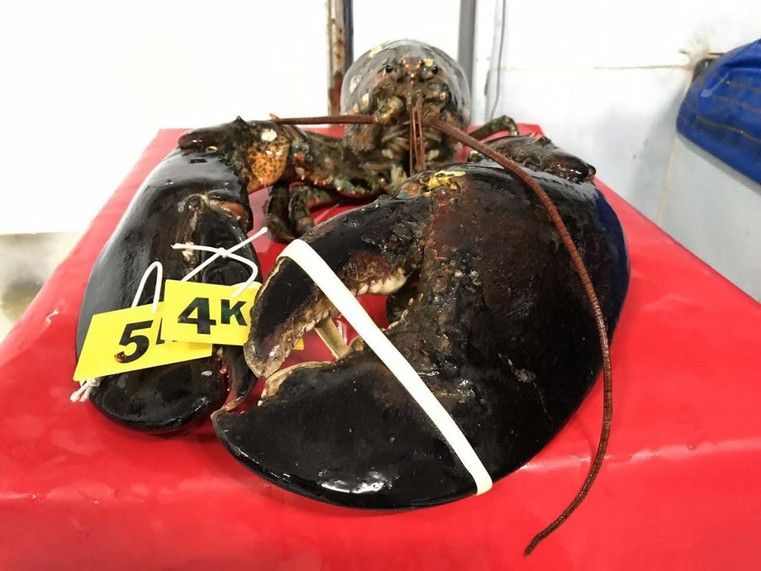 Alantic lobster