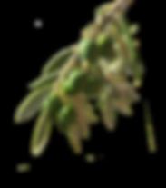 VOGO_OliveBranch_2177-S.png