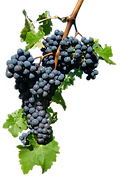 VOGO_grape_CIMG7135.png
