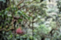 Bangsia aureocincta. autor: Miguel Jaramillo