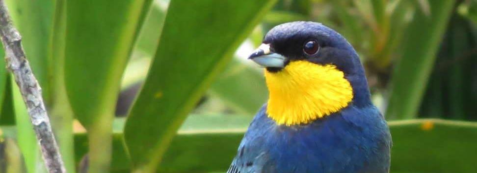 Purplish-mantled Tanager_Iridosornis porphyrocephalus_Montezuma_edited