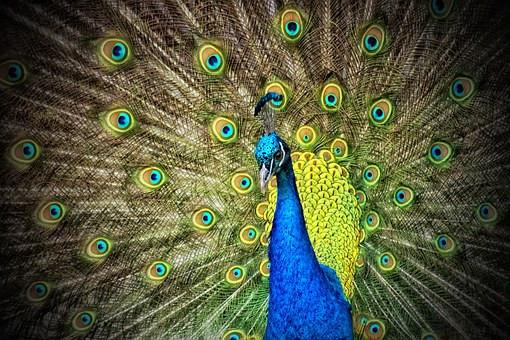 My Peacock Theory