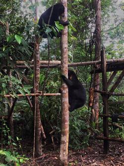 Apang and Kecil playing in the training enclosure.