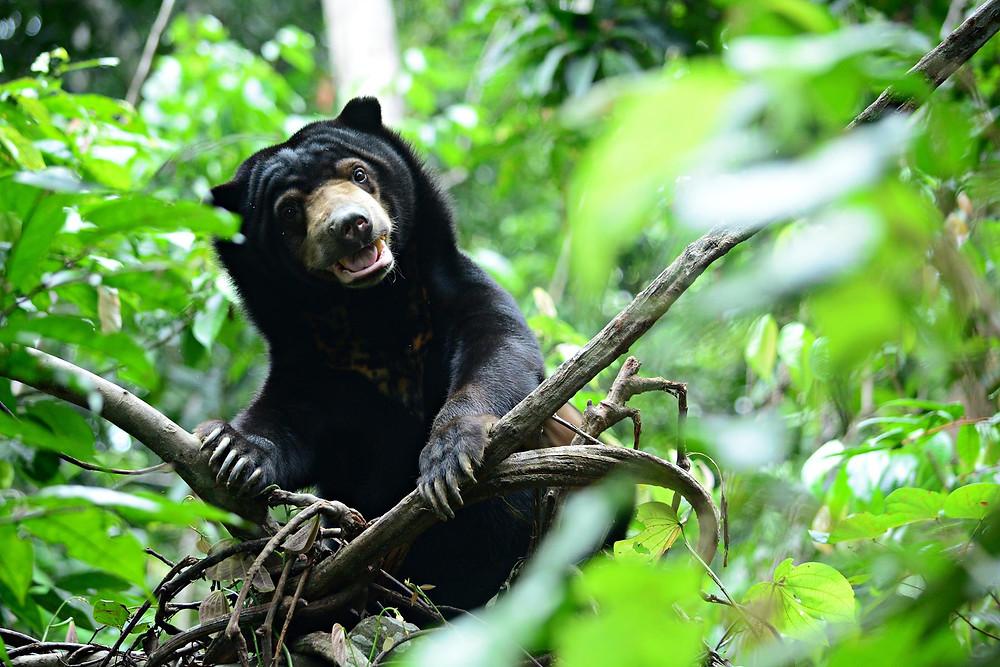 Bornean Sun Bear Conservation Centre