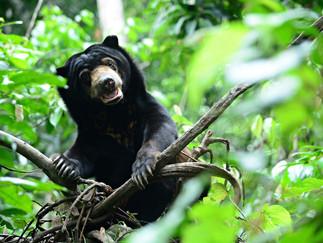 Солнечные медведи и Bornean Sun Bear Conservation Centre